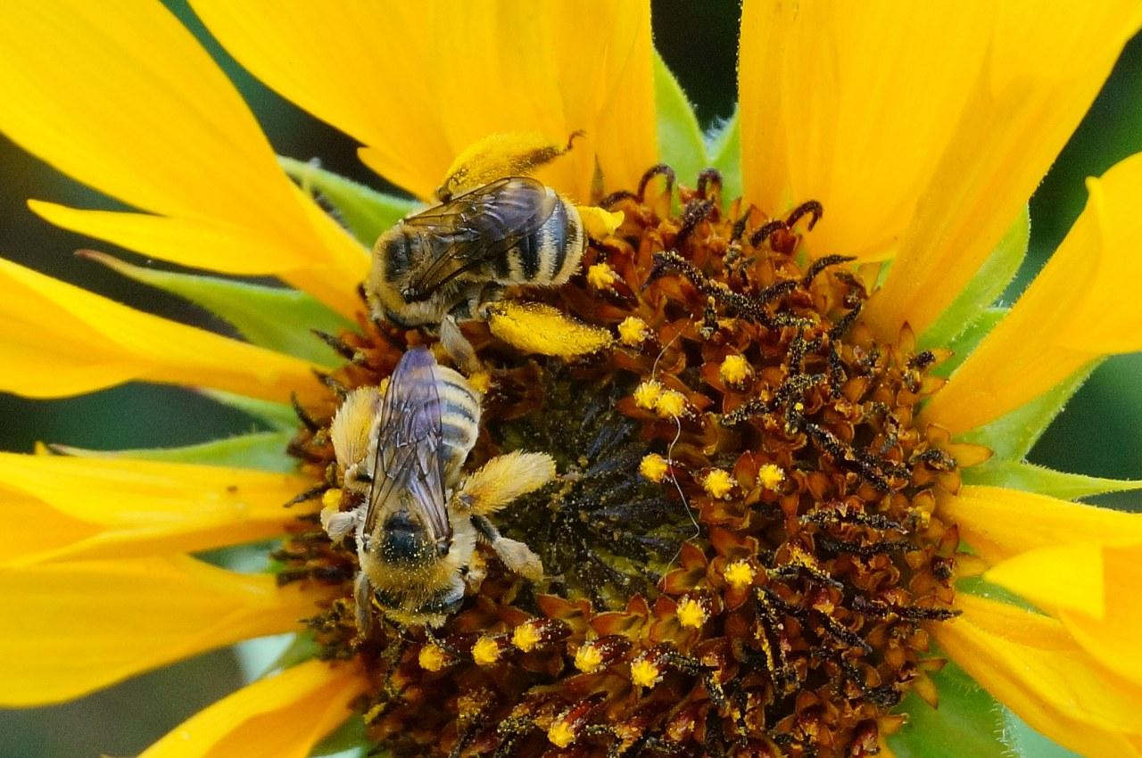 Female Digger Bees On Delta Sunflower Helianthus Annuus Photo By Debbie Ballentine